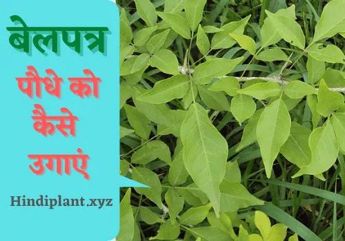 बेलपत्र का पेड़ कैसे लगाया जाता है?। How To Grow Bel Patra Plant In Hindi