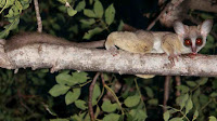 bush baby pictures