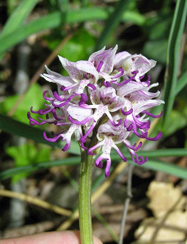 flowers-look-like-animals-people-monkeys-orchids-pareidolia-4