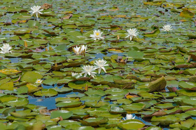 Top Pond Plants and Water Flowers: Beginner To Advanced