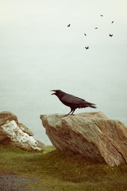 A raven, the bird of ill omen, perched on a rock with beak open as if speaking - Marie Carr Photography