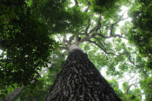 Tropical trees are living time capsules of human history
