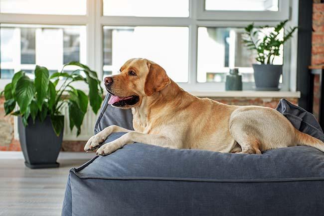 Jak dbać o stawy u psów ras dużych?