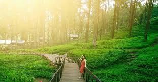gambar hutan pinus limpakuwus