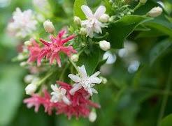 Combretum Indicum  (कॉम्ब्रेटम इंडिकम)