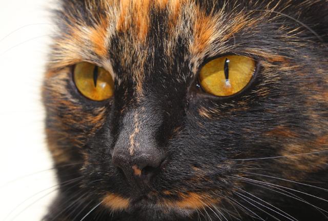 Tortoiseshell Cats: Fascinating Facts, Origins and Characteristics
