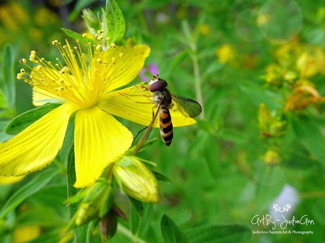 Hoverfly On St. John's Wort 4 Photos + Video