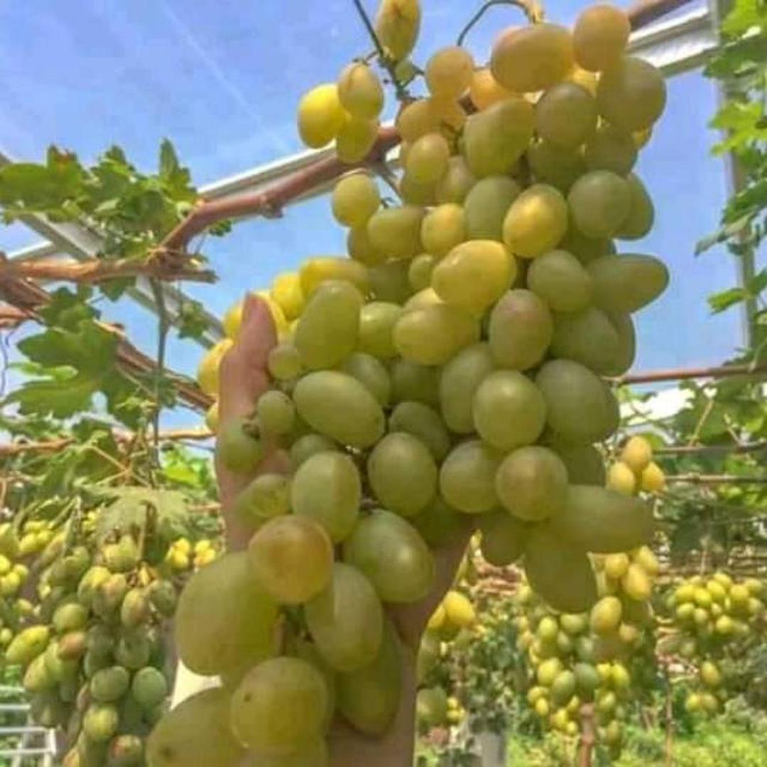 Borong Segera! Bibit Tanaman Buah anggur yelow belgi berkwalitas dan murah Kota Jakarta #jual bibit buah buahan