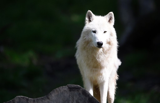 Dwindling prey bad news for big cats, wolves