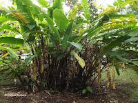Yellow heliconias - Ho'omaluhia Botanical Garden, Kaneohe, HI