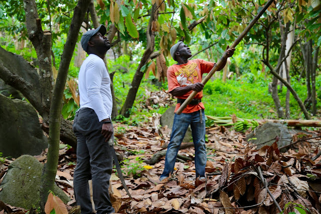 Using a long hoe to chop down cacao pods, crayfish bay farm, grenada