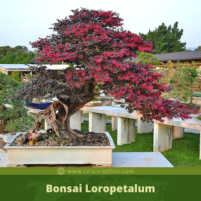 Bonsai Loropetalum