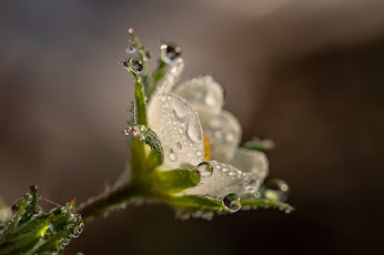 A close-up of a white flower with water droplets on it.