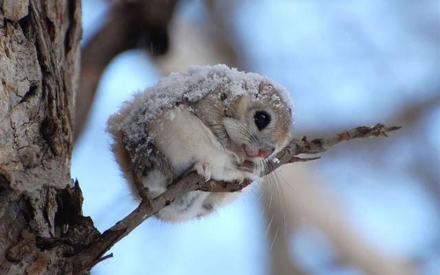omorfos-kosmos.gr - Οι ιπτάμενοι σκίουροι της Ιαπωνίας και της Σιβηρίας είναι ίσως τα πιο χαριτωμένα ζώα της γης (Εικόνες)