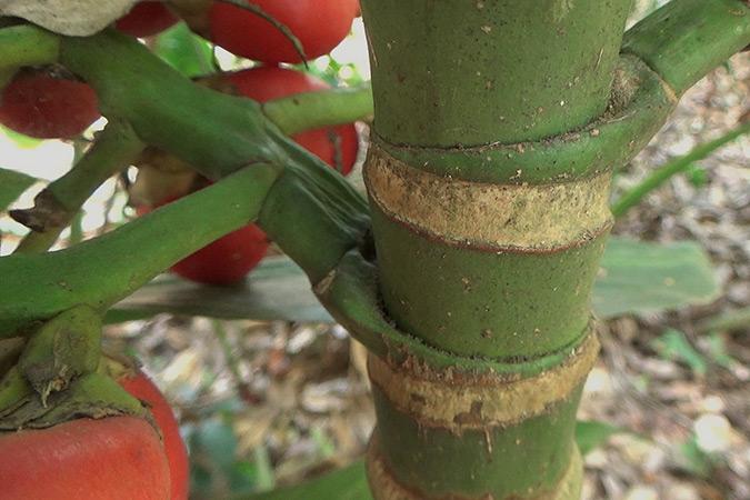 Dlium Areca palm (Areca catechu)