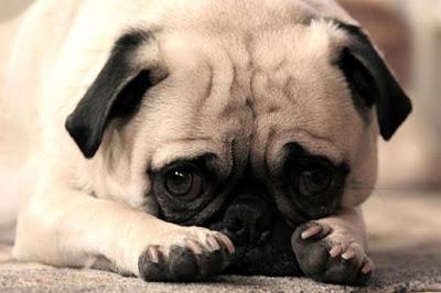 Những người thích nuôi thú cưng hãy cẩn thận với các sản phẩm chứa chất tạo ngọt Xylitol