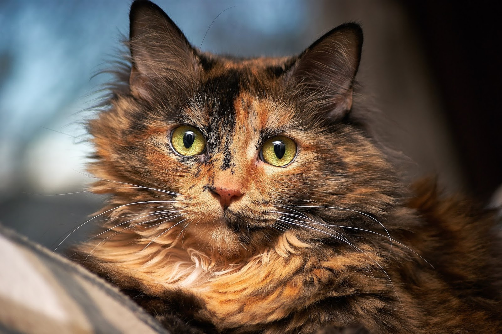 tortoiseshell-cat-in-selective-focus-photography,cat images