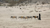 A woman walks with donkeys carrying water gerry cans in Yemen's volatile province of Marib. (Credit: Reuters/Ali Owidha) Click to Enlarge.