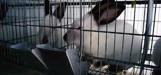 Gambar kelinci Jenis himalayan