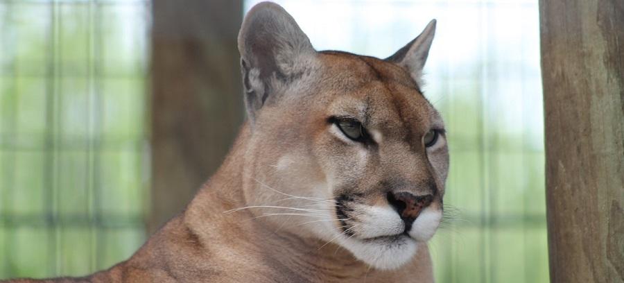 Pantera Floridana /Puma concolor - Coowahchobee o Kowiachobee