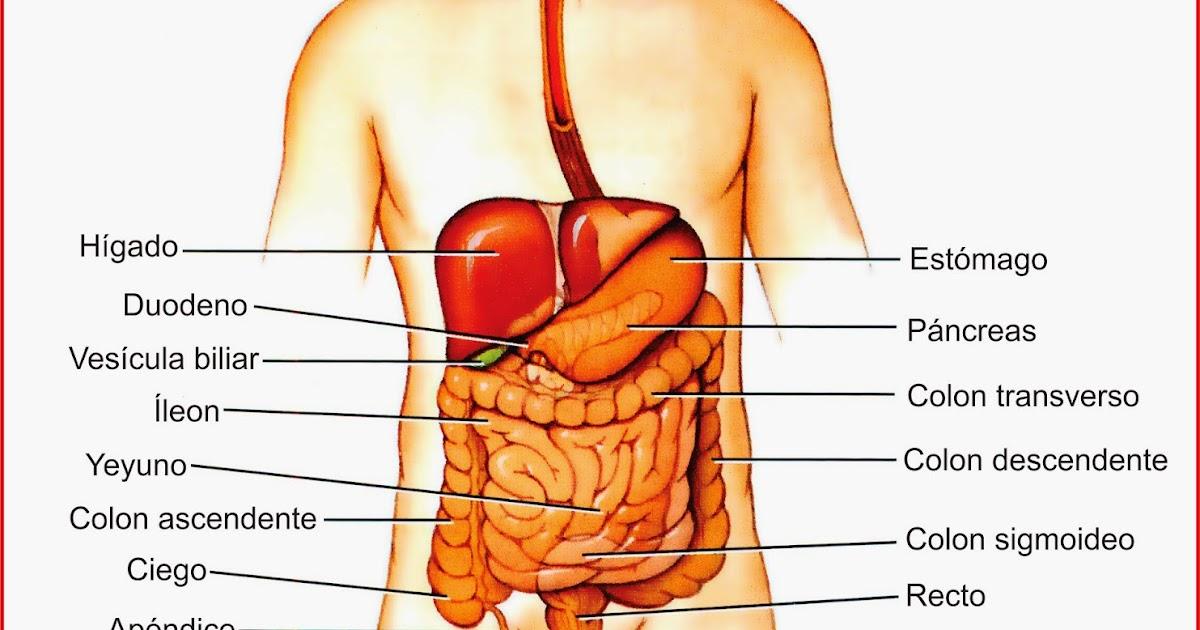 El aparato Digestivo - Órganos principales | Ciclo Escolar