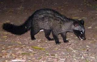 Musang ialah binatang yang biasanya beraktivitas di malam hari Ciri-Ciri Musang