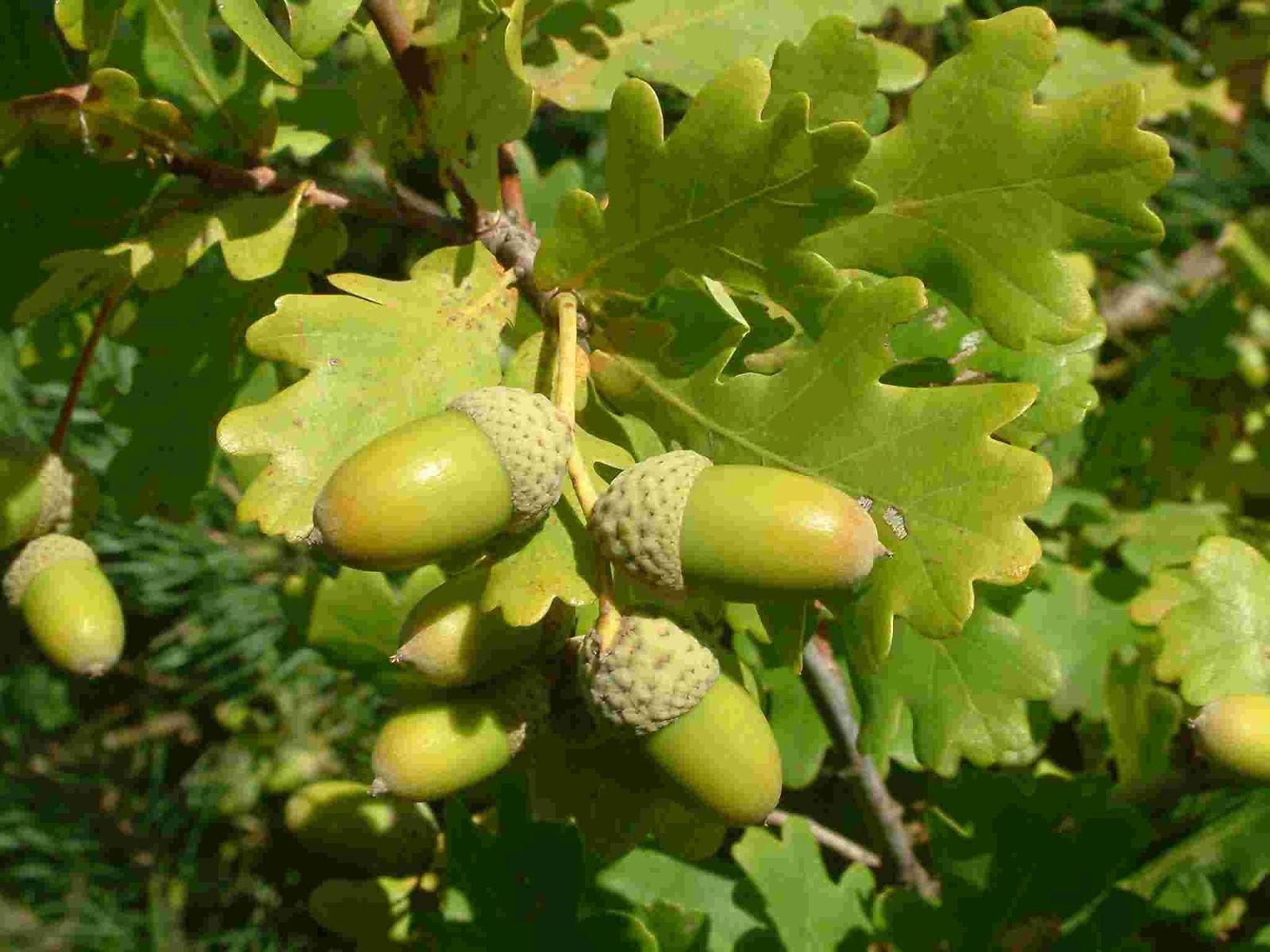 Carvalho, Árvore do Gênero Quercus