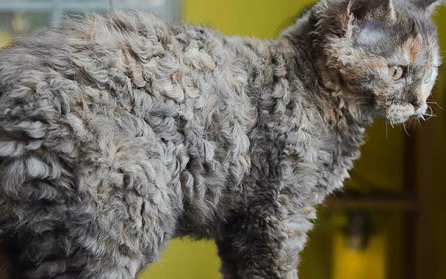 Curly-coated cat. The Selkirk Rex. Photo: Nathalie Jacques , Saint-Léonard d'Aston , Québec, Canada    1(819)399-3747.