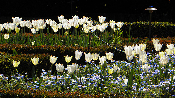 Field of White Tulips with Small Blue Flowers