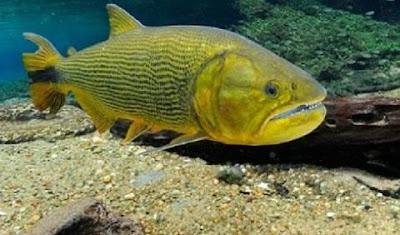 Ikan Golden Dorado