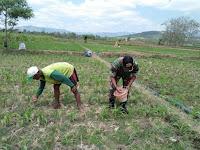 Demi  Jagung Subur, Babinsa Koramil 18/SP  bantu petani Pupuk Jagung