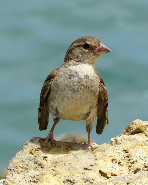 Sparrow by the sea, Molo Mediceo, port of Livorno