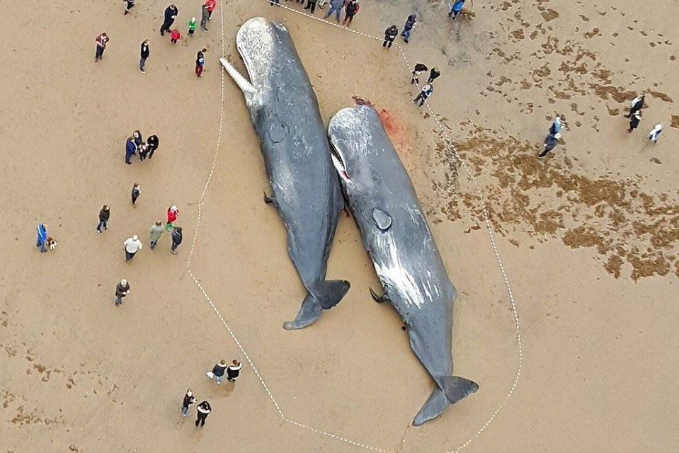 29 Sperm Whales Found Dead In 2016, Stranded On Shores Around The North Sea