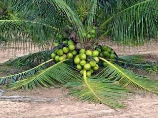 3 Jenis Kelapa Yang Ada Di Malaysia