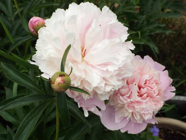 pink peony blooms in garden