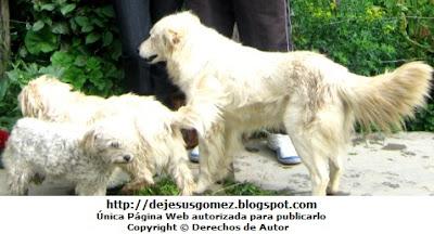 Foto de perros color blanco de Jesus Gómez