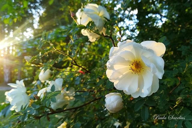 Juhannusruusu kukkii