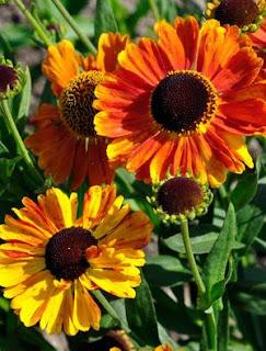 helenium-bunga-surabaya