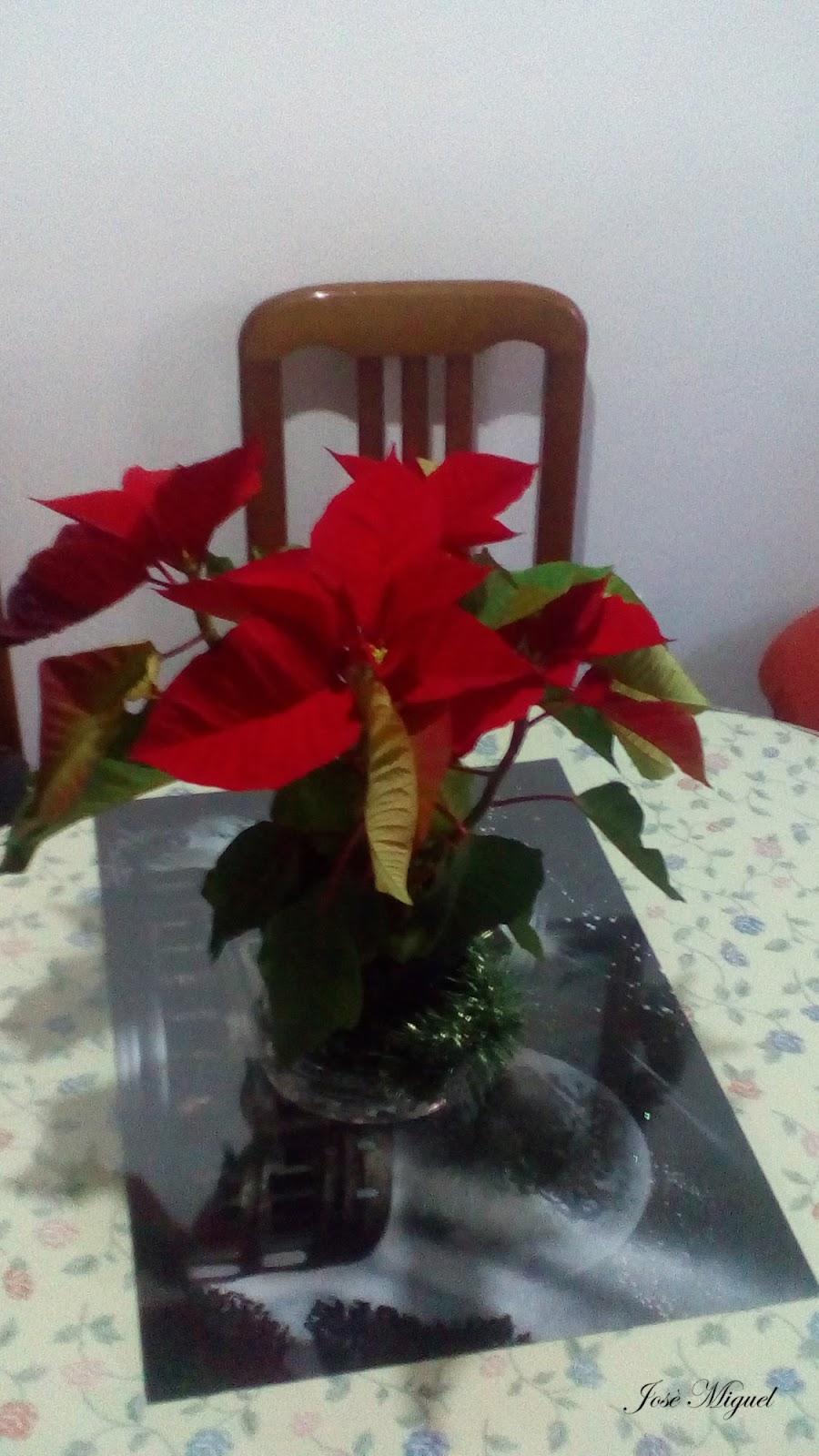 La corte de cortegana cuidados de la flor de pascua - Que cuidados necesita la flor de pascua ...