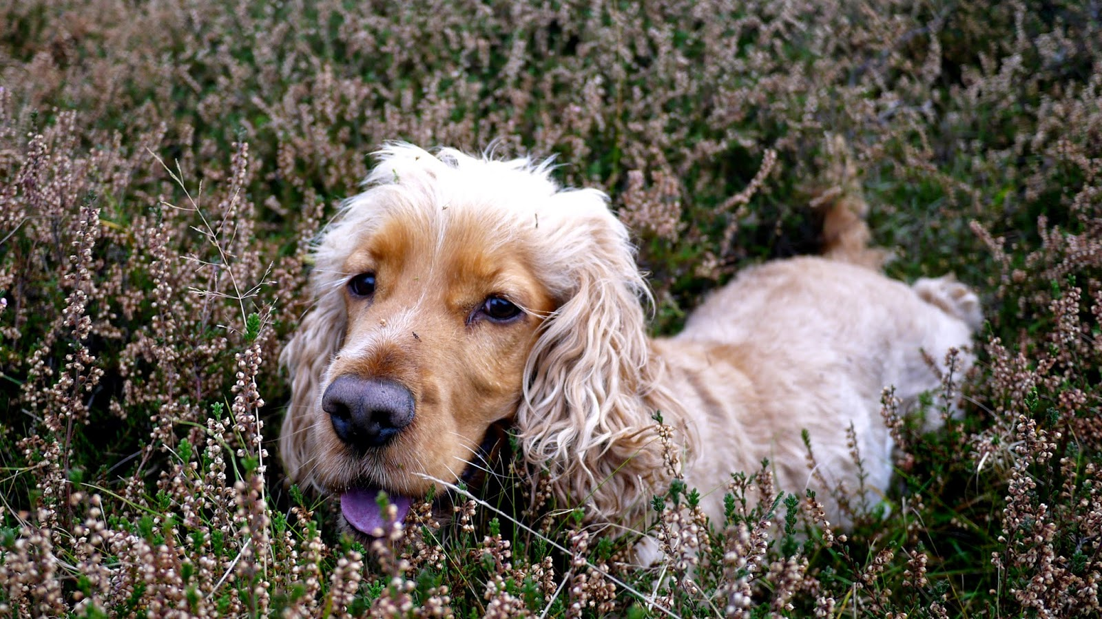 golden cocker spaniel in heather