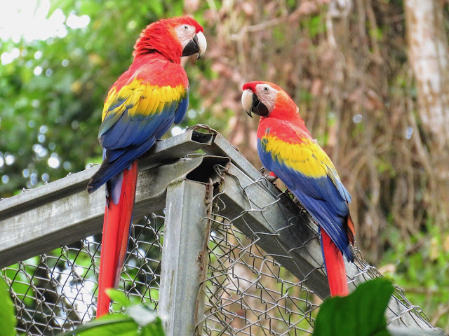 Costa Rica Itinerary: Scarlet Macaws at GAIA Hotel and Reserve