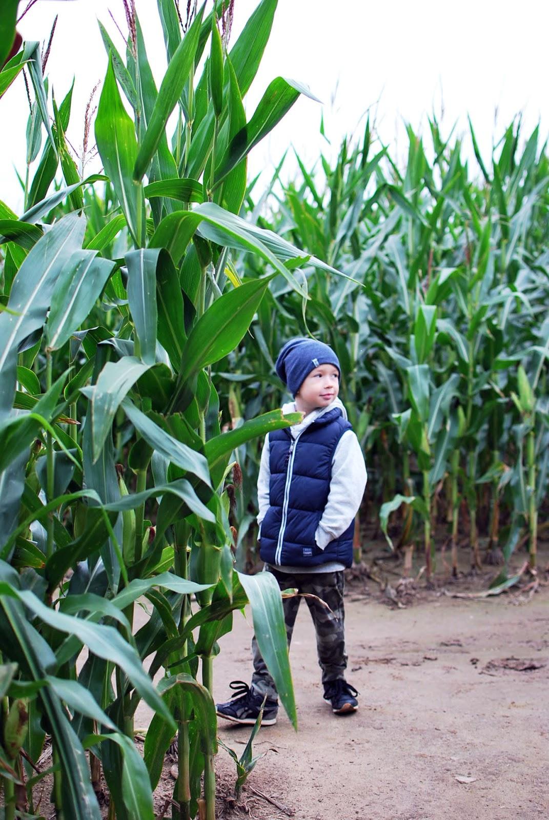 Labirynt w polu kukurydzy w Swarzewie - tu warto się zgubić