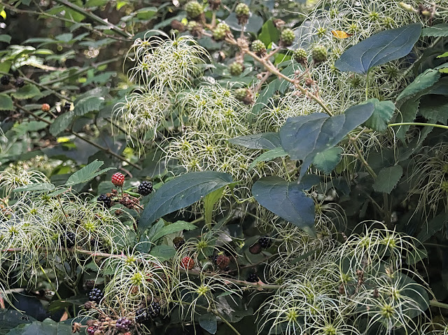 Fruiting clematis and brambles