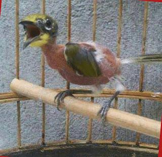 Penyebab Burung Mabung Disertai Perawatannya