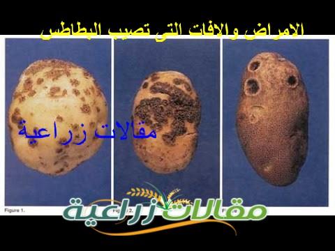 الامراض والافات التى تصيب البطاطس الاعراض والعلاج والوقاية منها - مقالات زراعية