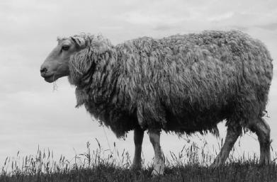 manfaat bulu domba
