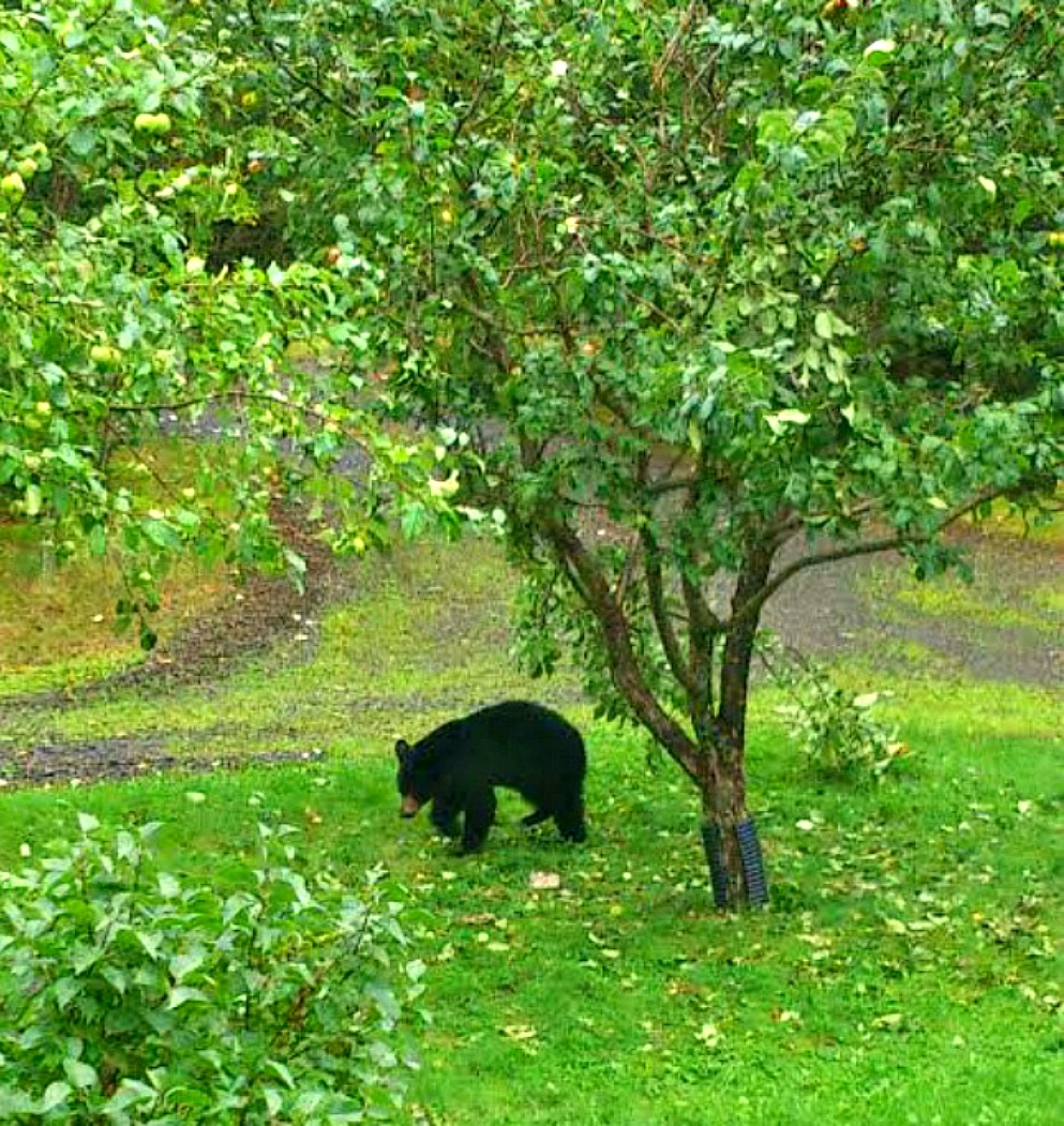 Black Bear Problems