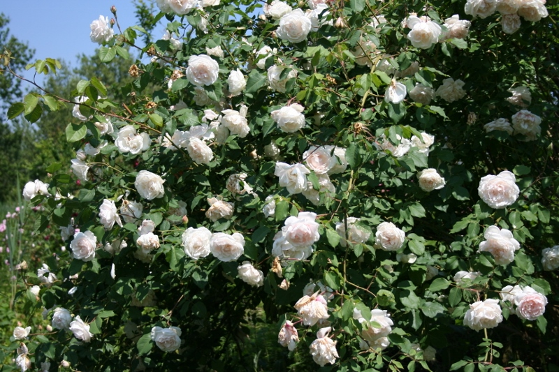 Mme Alfred Carri 232 Re A Mighty Climbing Old Garden Rose