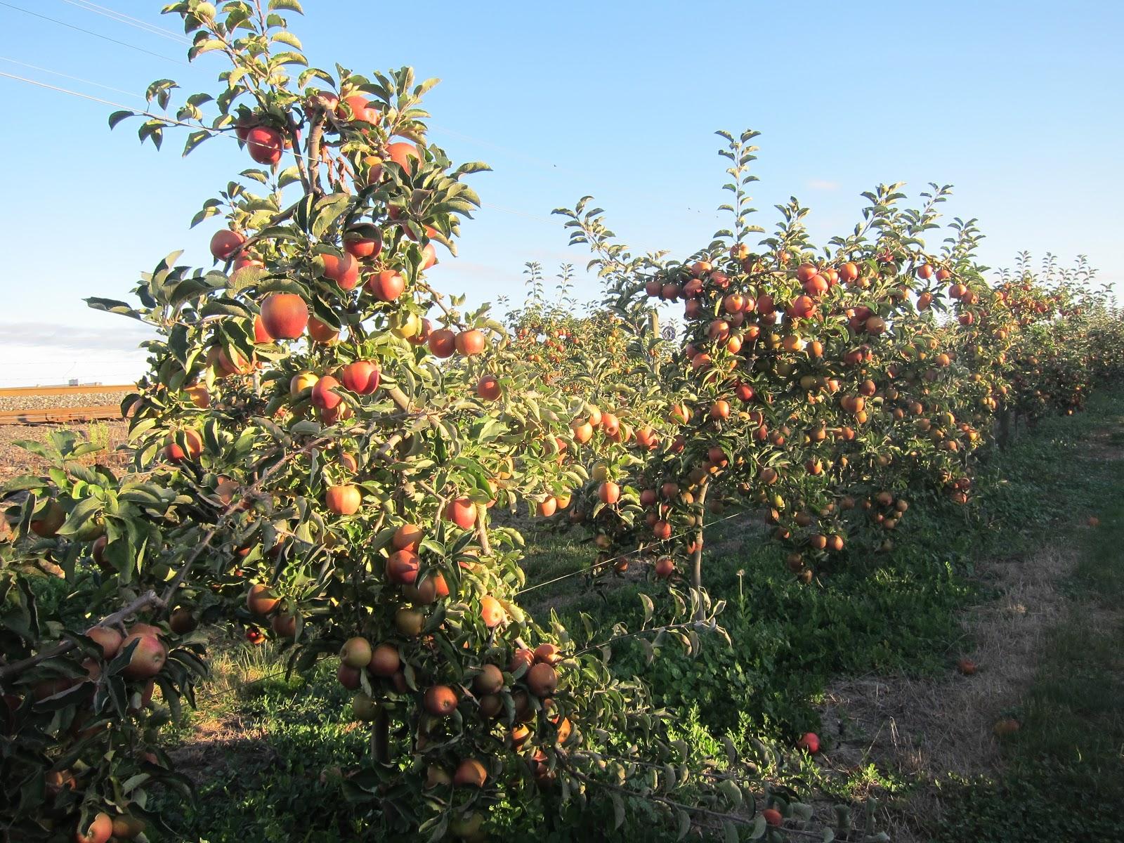 Beilke Family Farm Oregon Apples U Pick From The Farm
