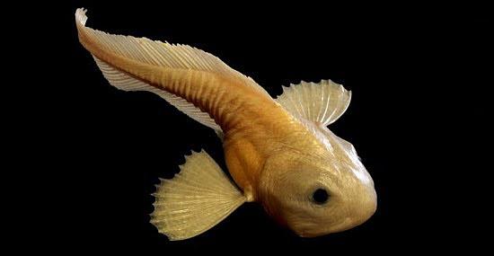 Bizarro 'peixe das trevas' vive no lugar mais profundo do oceano
